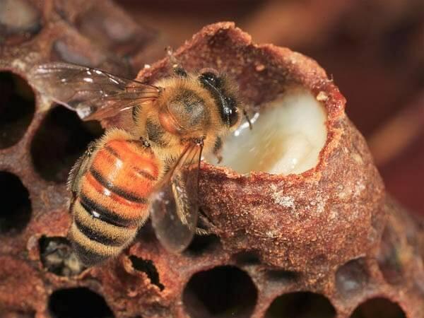 Sữa ong chúa- Công hiệu làm đẹp da đến bất ngờ